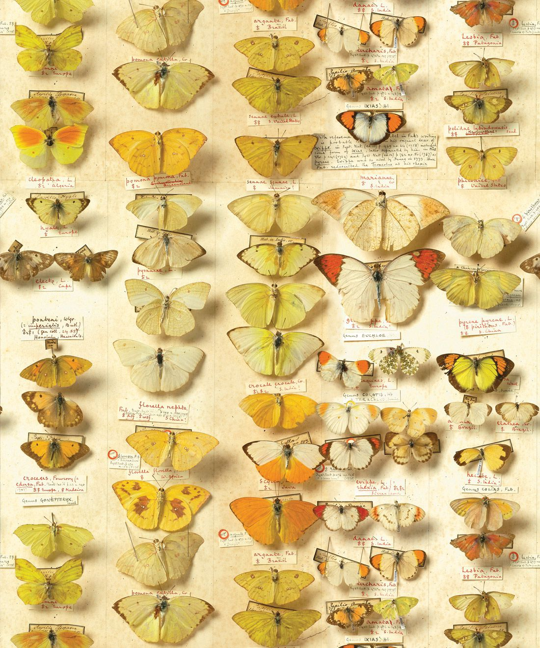 Lepidoptera Wallpaper